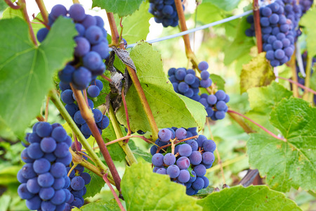 black: black grapes Stock Photo