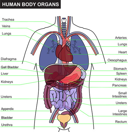 human lungs: anatomy vector