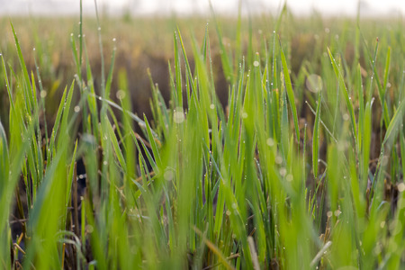 purifying: Purifying MORNING DEW at Paddy Field Stock Photo