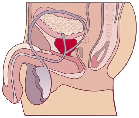 uretra: la gl�ndula de la pr�stata y el sistema reproductor masculino