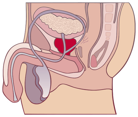 prostate gland and male reproductive system