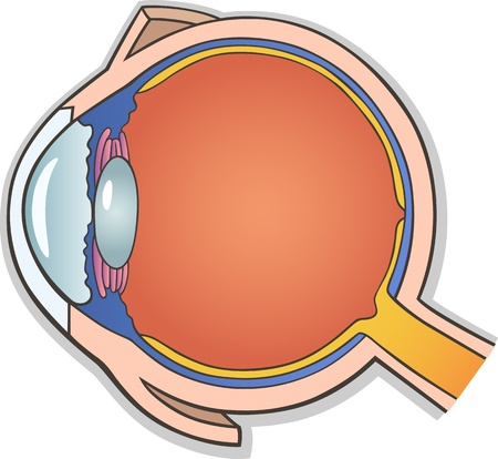 cornea: Medical Vector Illustration of Human Eye Ball Cross Section