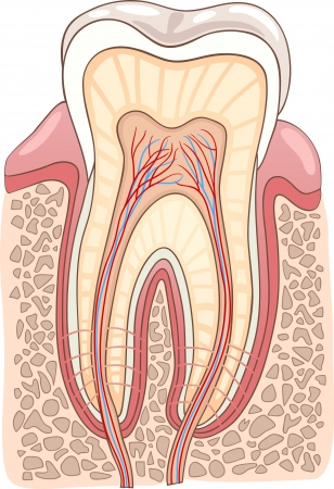 enamel: Medical Vector Illustration of Human Tooth Cross Section