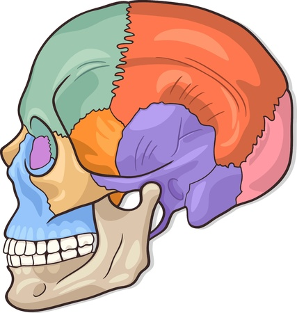 eye socket: Medical Vector Illustration of Human Skull Bones Graphic Diagram
