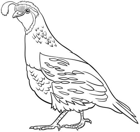Black and white cartoon illustration of funny quail bird animal character coloring book page