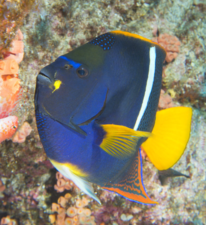 napoleon fish: An angel fish in the reef background