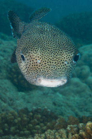 napoleon fish: A box fish in the reef background