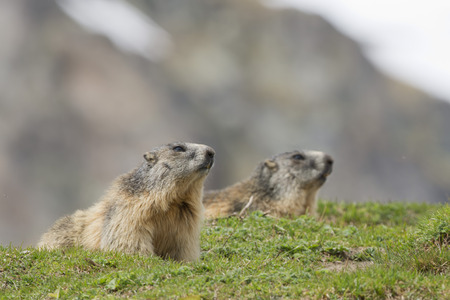 Marmot portrait while looking  Stock Photo