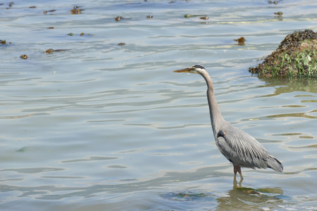 A blue heron hunting in the sea  photo