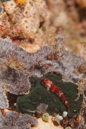 guinea worm: A small red fish relaxing on a green sponge in Raja Ampat Papua, Indonesia