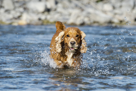 An english brown cocker spaniel running to you in the river water background photo