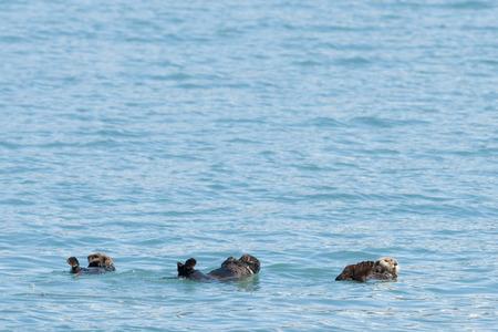 Sea otter swimming in Prince William Sound, Alaska