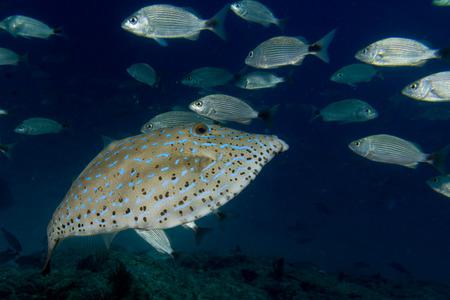 Harlequin filefish close up portrait photo