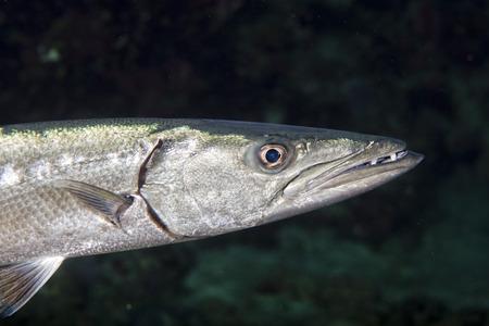 barracuda: Barracuda Fish underwater close up portrait