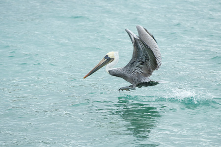 Pelican while flying on the blue sea
