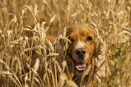 Isolated cocker spaniel looking at you  in wheat background photo