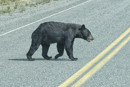 oso negro: Un oso negro que cruza la carretera en la Columbia Brit�nica Foto de archivo