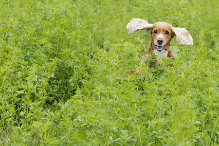 Isolated english cocker spaniel while jumping on the grass background photo