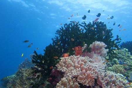 guinea worm: Colorful underwater reef of Raja Ampat Papua, Indonesia