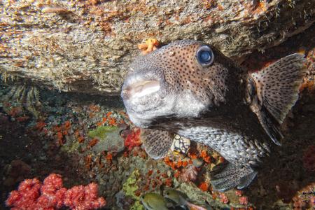 napoleon fish: Box fish portrait in the reef background Stock Photo