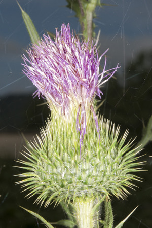 mariano: cardoon flower close up macro