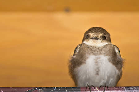 A swift swallow bird from africa portrait in the orange wood background photo