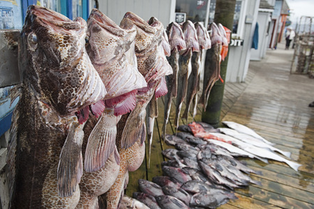 homer: Wolf fish catch of the day in Homer, Alaska