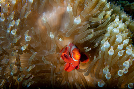 guinea worm: Red Clown fish in anemone with shrimps in Raja Ampat Papua, Indonesia Stock Photo