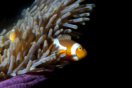 guinea worm: Clown fish in anemone on black background