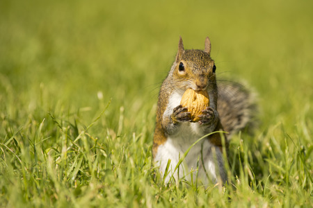 A grey squirrel  holding a nut photo