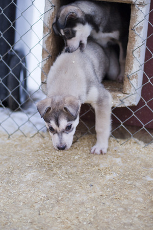 puppy two months old husky sled dog portrait while looking at you photo