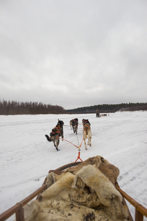 sledding with husky dogs in lapland photo