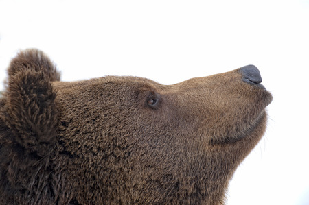 Bear brown grizzly portrait in the snow while looking at you photo