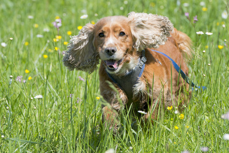Isolated english cocker spaniel on the grass background