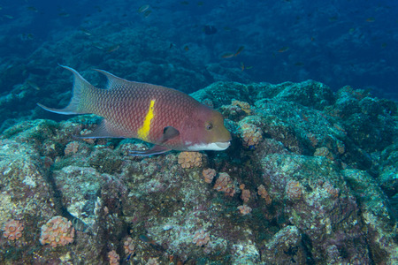 An isolated colorful grouper in the blue background photo