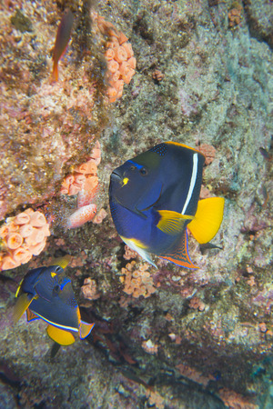An angel fish in the reef background photo