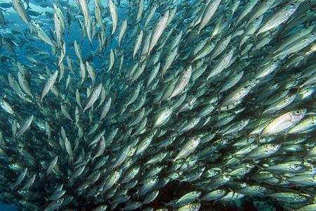 In een reusachtige travelly tonijn school vissen van dichtbij in de diepblauwe zee Stockfoto