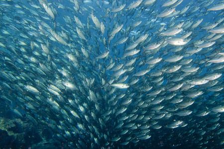 Inside a giant travelly tuna school of fish close up in the deep blue sea photo