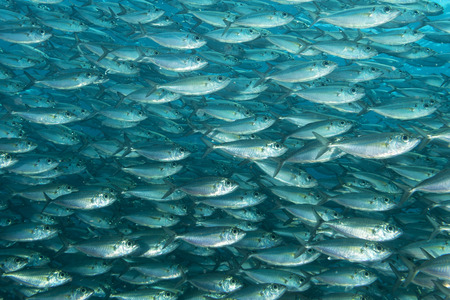 Inside a sardine school of fish close up in the deep blue sea Imagens - 31583015