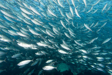 eating fish: Inside a sardine school of fish close up in the deep blue sea Stock Photo