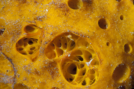 guinea worm: Yellow sponge detail in Raja Ampat Papua, Indonesia