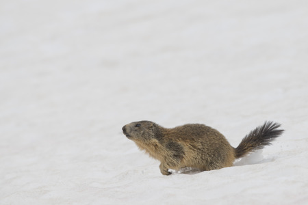 Isolated Marmot while running on the snow background in winter Stock Photo