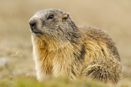 Isolated marmot portrait ground hog on mountain background photo