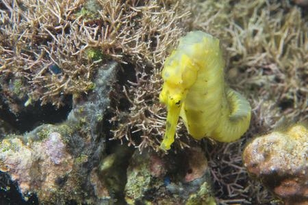 sea horse: A yellow kuda female sea horse in Philippines