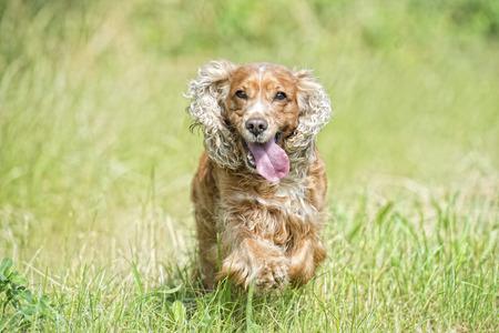 puppy dog cocker spaniel running to you photo