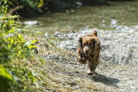 puppy dog cocker spaniel photo