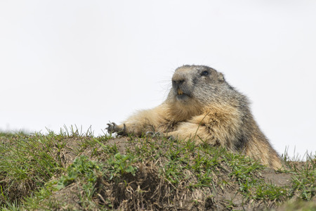 Marmot groundhog portrait while stretching on rocks and white snow background