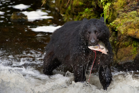 A black bear looking at you while eating a salmon fish in a river  photo