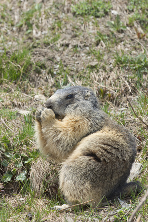 Isolated marmot sitting and eating photo