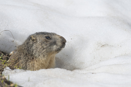 Isolated Marmot while running on the snow background in winter photo